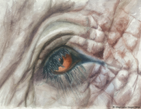 Elephant Eye Thailand watercolor